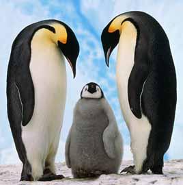 Pinguino-emperador-13