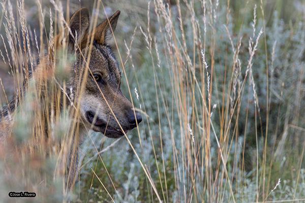 lobo iberico Lush