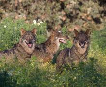 En defensa del lobo ibérico Lush alza su Charity Pot